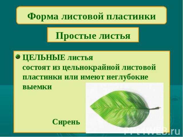 Форма листовой пластинкиПростые листьяЦЕЛЬНЫЕ листьясостоят из цельнокрайной листовой пластинки или имеют неглубокие выемки Сирень