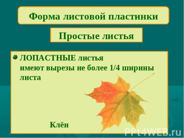 Форма листовой пластинкиПростые листьяЛОПАСТНЫЕ листьяимеют вырезы не более 1/4 ширины листа Клён