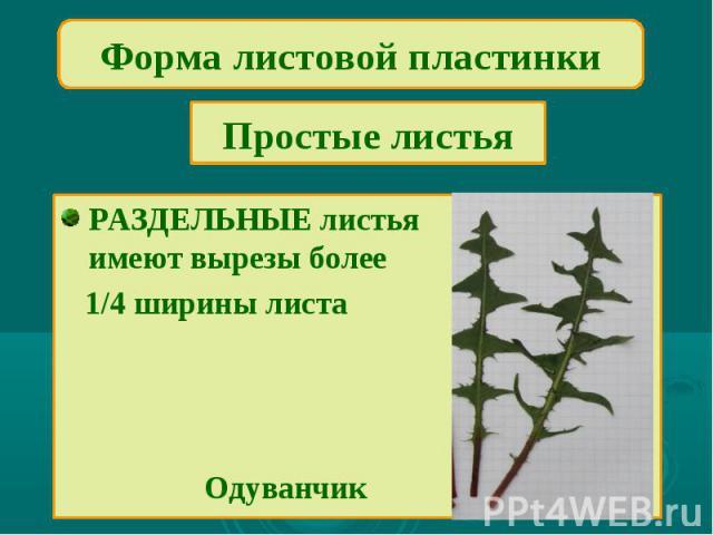 Форма листовой пластинкиПростые листьяРАЗДЕЛЬНЫЕ листьяимеют вырезы более 1/4 ширины листа Одуванчик