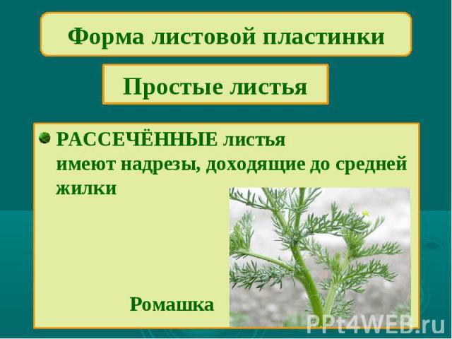 Форма листовой пластинкиПростые листьяРАССЕЧЁННЫЕ листьяимеют надрезы, доходящие до средней жилки Ромашка