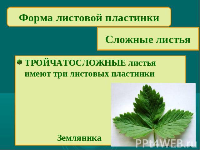 Форма листовой пластинкиСложные листьяТРОЙЧАТОСЛОЖНЫЕ листьяимеют три листовых пластинки Земляника