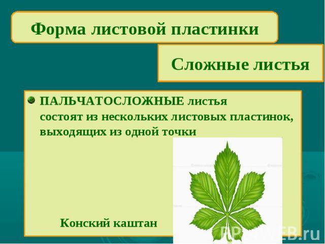 Форма листовой пластинкиСложные листьяПАЛЬЧАТОСЛОЖНЫЕ листьясостоят из нескольких листовых пластинок, выходящих из одной точки Конский каштан