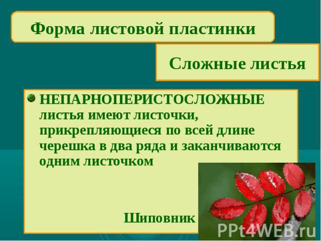 Форма листовой пластинкиСложные листьяНЕПАРНОПЕРИСТОСЛОЖНЫЕ листья имеют листочки, прикрепляющиеся по всей длине черешка в два ряда и заканчиваются одним листочком Шиповник