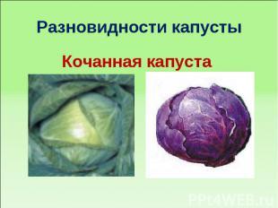 Разновидности капустыКочанная капуста