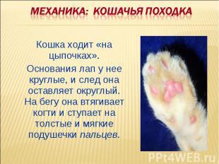 Механика: Кошачья походка Кошка ходит «на цыпочках». Основания лап у нее круглые