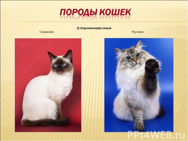 Породы кошек3) КороткошёрстныеСиамские Русские