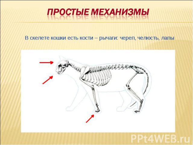 Простые механизмыВ скелете кошки есть кости – рычаги: череп, челюсть, лапы