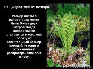 Защищает лес от пожара.Размер листьев папоротника может быть более двух метров.