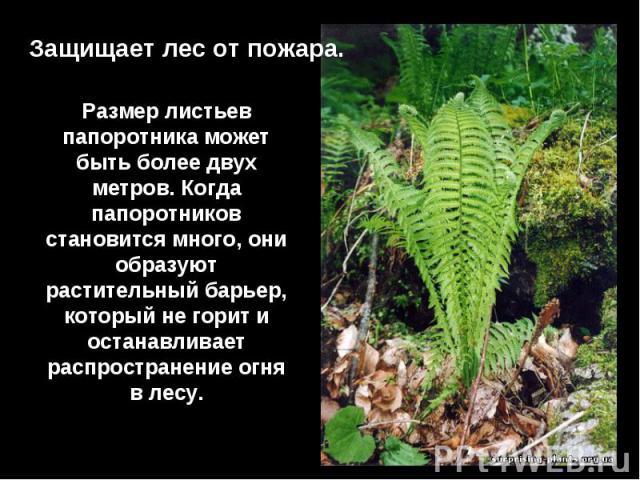 Защищает лес от пожара.Размер листьев папоротника может быть более двух метров. Когда папоротников становится много, они образуют растительный барьер, который не горит и останавливает распространение огня в лесу.