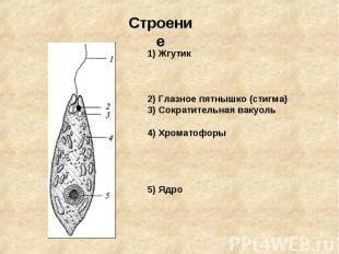 Строение1) Жгутик2) Глазное пятнышко (стигма)3) Сократительная вакуоль4) Хромато