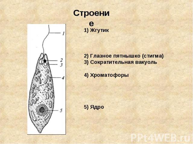 Строение1) Жгутик2) Глазное пятнышко (стигма)3) Сократительная вакуоль4) Хроматофоры5) Ядро