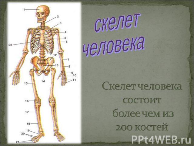скелетчеловекаСкелет человека состоит более чем из 200 костей