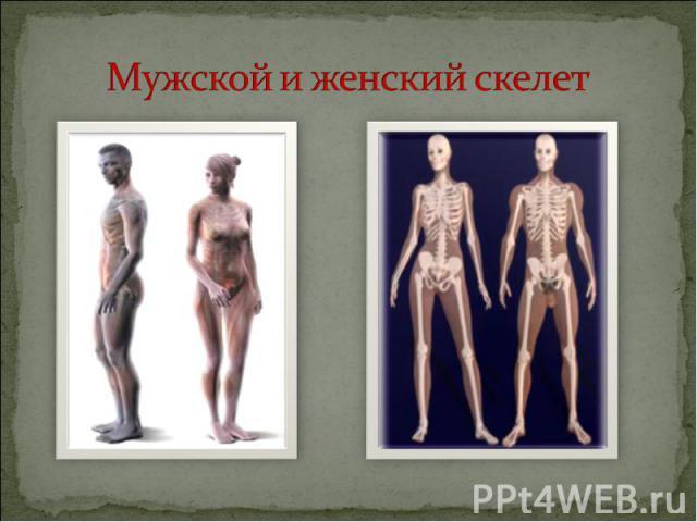 Мужской и женский скелет