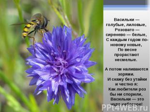 Васильки — голубые, лиловые, Розовато — сиренево — белые, С каждым годом по-ново