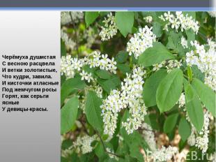 Черёмуха душистаяС весною расцвелаИ ветки золотистые,Что кудри, завила.И кисточк