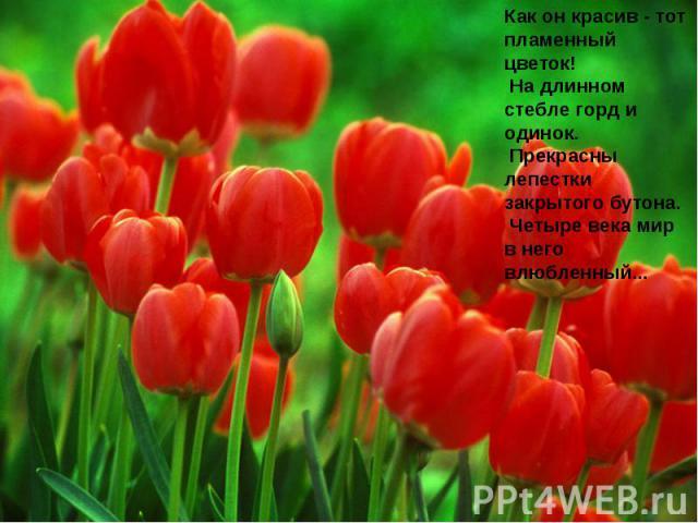Как он красив - тот пламенный цветок! На длинном стебле горд и одинок. Прекрасны лепестки закрытого бутона. Четыре века мир в него влюбленный...