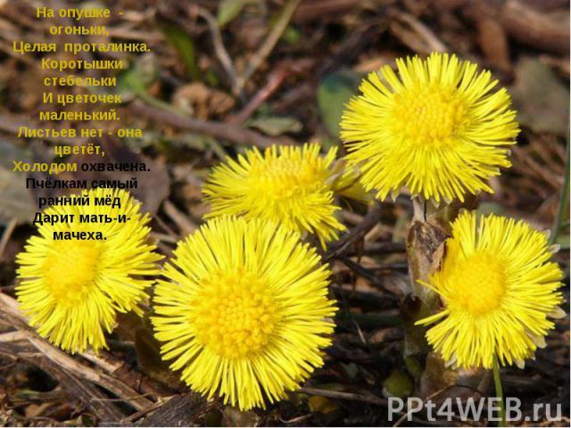 На опушке - огоньки, Целая проталинка. Коротышки стебельки И цветочек маленький. Листьев нет - она цветёт, Холодом охвачена. Пчёлкам самый ранний мёд Дарит мать-и-мачеха.