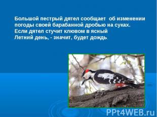 Большой пестрый дятел сообщает об изменении погоды своей барабанной дробью на су