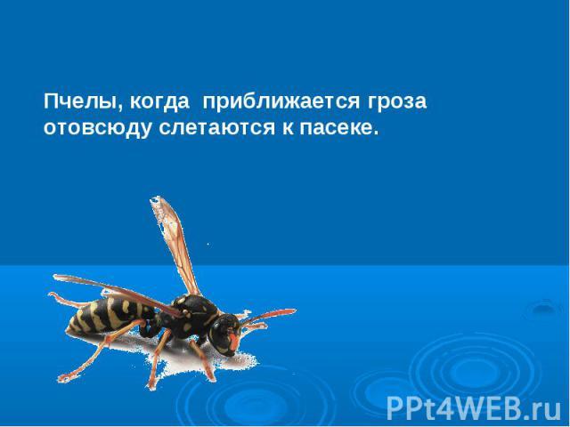 Пчелы, когда приближается гроза отовсюду слетаются к пасеке.