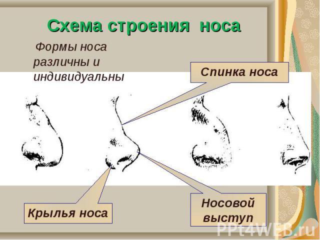 Схема строения носа Формы носа различны и индивидуальны