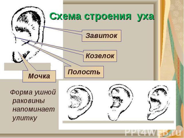 Схема строения уха Форма ушной раковины напоминает улитку
