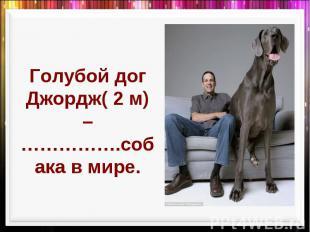 Голубой дог Джордж( 2 м) –…………….собака в мире.