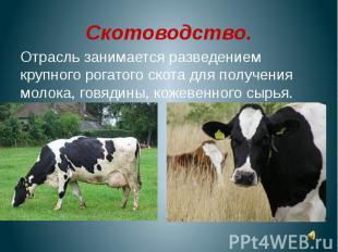 Скотоводство.Отрасль занимается разведением крупного рогатого скота для получени