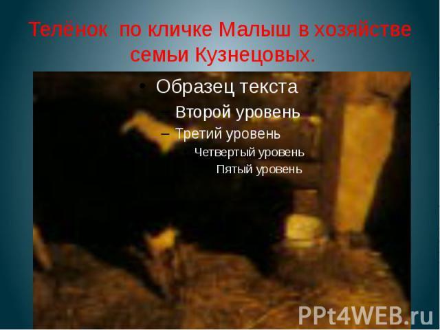Телёнок по кличке Малыш в хозяйстве семьи Кузнецовых.