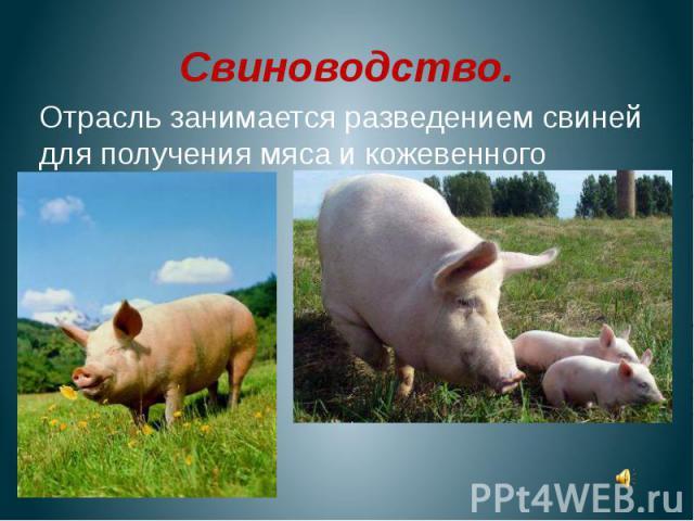 Свиноводство.Отрасль занимается разведением свиней для получения мяса и кожевенного сырья.