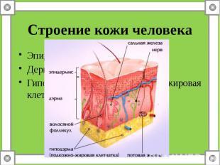 Строение кожи человекаЭпидермис – надкожницаДерма - собствено кожаГиподерма – по
