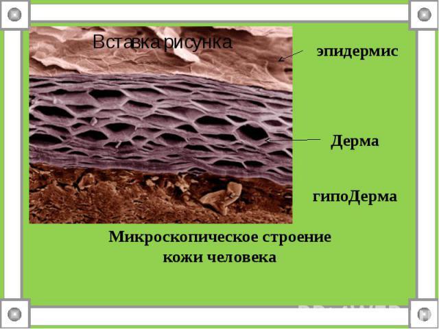 эпидермисДерма гипоДерма Микроскопическое строение кожи человека