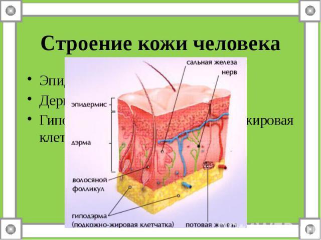 Строение кожи человекаЭпидермис – надкожницаДерма - собствено кожаГиподерма – подкожно-жировая клетчатка