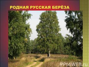 Родная русская берёза