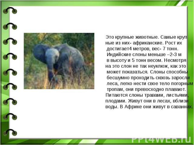 Это крупные животные. Самые крупные из них- африканские. Рост их достигает4 метров, вес- 7 тонн. Индийские слоны меньше –2-3 м в высоту и 5 тонн весом. Несмотря на это слон не так неуклюж, как это может показаться. Слоны способны бесшумно проходить …