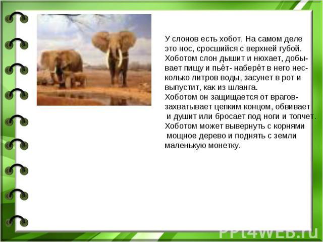 У слонов есть хобот. На самом деле это нос, сросшийся с верхней губой.Хоботом слон дышит и нюхает, добы-вает пищу и пьёт- наберёт в него нес-колько литров воды, засунет в рот и выпустит, как из шланга.Хоботом он защищается от врагов- захватывает цеп…