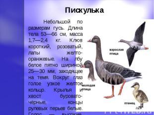 Пискулька Небольшой по размерам гусь. Длина тела 53—66 см, масса 1,7—2,4 кг. Клю