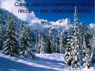 Самая распространённая порода лесов— ель сибирская (65%)
