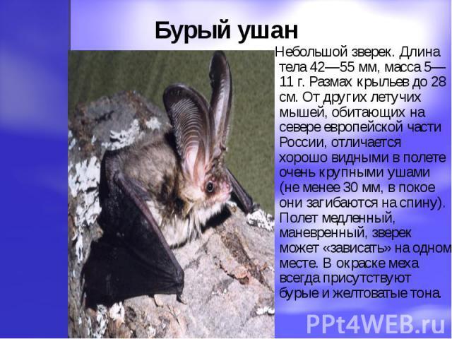 Бурый ушан Небольшой зверек. Длина тела 42—55 мм, масса 5—11 г. Размах крыльев до 28 см. От других летучих мышей, обитающих на севере европейской части России, отличается хорошо видными в полете очень крупными ушами (не менее 30 мм, в покое они заги…