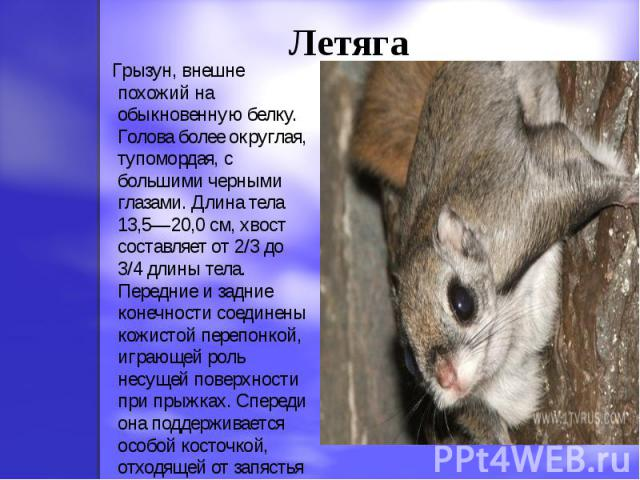 Летяга Грызун, внешне похожий на обыкновенную белку. Голова более округлая, тупомордая, с большими черными глазами. Длина тела 13,5—20,0 см, хвост составляет от 2/3 до 3/4 длины тела. Передние и задние конечности соединены кожистой перепонкой, играю…