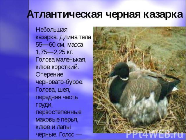 Атлантическая черная казарка Небольшая казарка. Длина тела 55—60 см, масса 1,75—2,25 кг. Голова маленькая, клюв короткий. Оперение черновато-бурое. Голова, шея, передняя часть груди, первостепенные маховые перья, клюв и лапы чёрные. Голос — мелодичн…