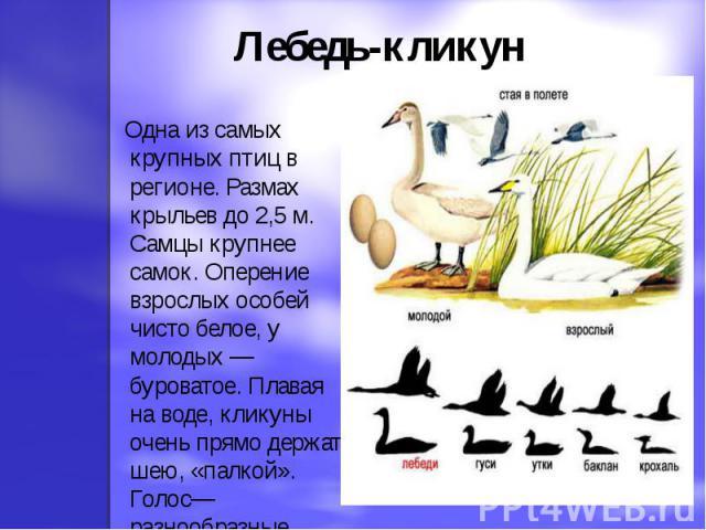 Лебедь-кликун Одна из самых крупных птиц в регионе. Размах крыльев до 2,5 м. Самцы крупнее самок. Оперение взрослых особей чисто белое, у молодых — буроватое. Плавая на воде, кликуны очень прямо держат шею, «палкой». Голос—разнообразные трубные крики.