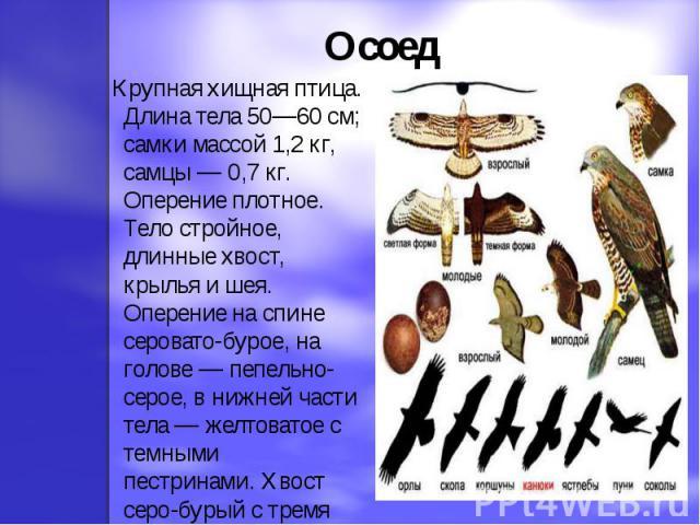 Осоед Крупная хищная птица. Длина тела 50—60 см; самки массой 1,2 кг, самцы — 0,7 кг. Оперение плотное. Тело стройное, длинные хвост, крылья и шея. Оперение на спине серовато-бурое, на голове — пепельно-серое, в нижней части тела — желтоватое с темн…