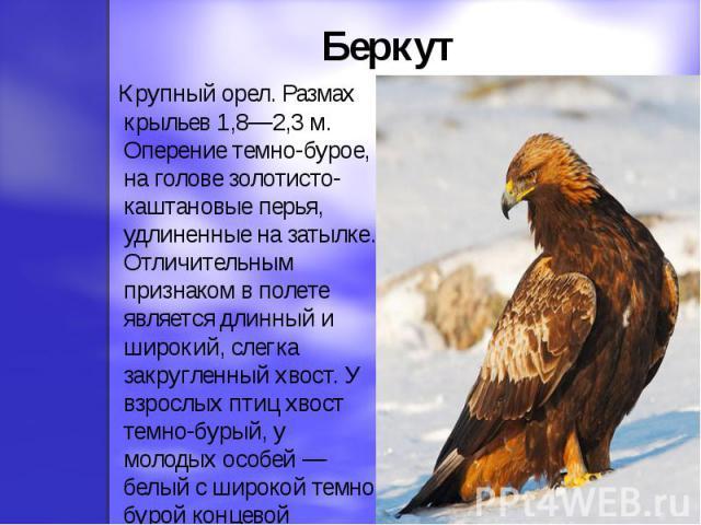 Беркут Крупный орел. Размах крыльев 1,8—2,3 м. Оперение темно-бурое, на голове золотисто-каштановые перья, удлиненные на затылке. Отличительным признаком в полете является длинный и широкий, слегка закругленный хвост. У взрослых птиц хвост темно-бур…