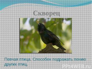 СкворецПевчая птица. Способен подражать пению других птиц.