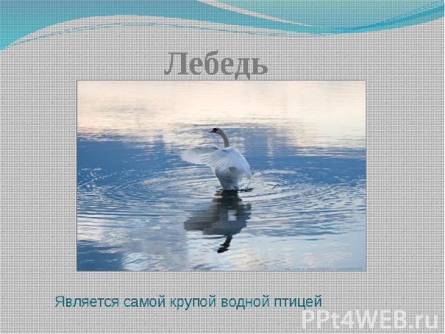 ЛебедьЯвляется самой крупой водной птицей
