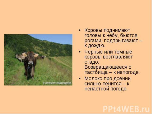Коровы поднимают головы к небу, бьются рогами, подпрыгивают – к дождю.Черные или темные коровы возглавляют стадо. Возвращающееся с пастбища – к непогоде.Молоко про доении сильно пенится – к ненастной погоде.