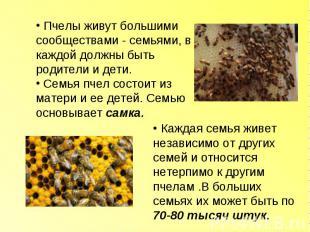 Пчелы живут большими сообществами - семьями, в каждой должны быть родители и дет