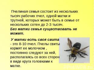 Пчелиная семья состоит из нескольких тысяч рабочих пчел, одной матки и трутней,
