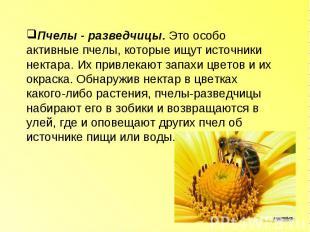 Пчелы - разведчицы. Это особо активные пчелы, которые ищут источники нектара. Их