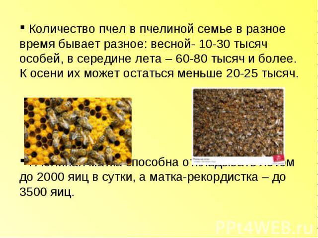 Количество пчел в пчелиной семье в разное время бывает разное: весной- 10-30 тысяч особей, в середине лета – 60-80 тысяч и более. К осени их может остаться меньше 20-25 тысяч. Пчелиная матка способна откладывать летом до 2000 яиц в сутки, а матка-ре…